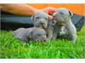 contact us for details tyrone9351gmailcomProven Pedigree Blue nose Pit bull available He has bee