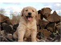 CUTE AND ADORABLE GOLDEN RETRIEVER PUPPIES FOR CHRISTMAS GET YOURS NOW AT AFFORDABLE PRICES 10 PUP