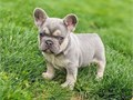 I have owned French bulldogs for 15 years and only breed for quality first and colour second  they