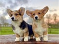 Corgi puppies available now ready to embrace their new families with such love and care they will be