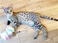Extremely Beautiful TICA Savannah KittensWe have two amazing F2 Savannah Kittens available for any