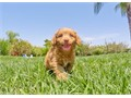 Solara is a Ruby Red female Goldendoodle She has her puppy shots and vet checks all up to date and