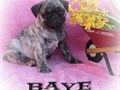 Pug Puppies for SaleHome raise Pug pups for sale 11 execellent pug pups for great homes they are