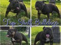 BLUE TRI ENGLISH BULLDOG STUD SERVICE NOT FOR SALEAKC Registered pregnancy guarantee