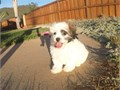 Puppys name DelilahBreed Shih TzuMalteseAge 12 weeks old Registry NAEstimated adult w