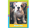 English bulldog male puppy up to date on shots three month old need a forever home for any informati