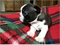 Boston terrier puppies available available