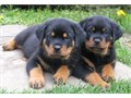 Sweet Rottweiler Puppies For further question or fast response textcall at 43