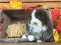 I am looking for a male dwarf holland lop to purchase Preferably a gray white magpie color or gray