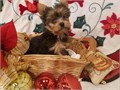 Tiny Yorkie Puppies MFI am a Hobby Breeder located in Whittier California I