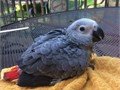 Healthy and adorable pairs of blue and gold and african grays are available  All vet checked and mi