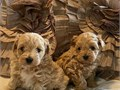 Beautiful Maltipoo puppies ready to leave now for more information call or text