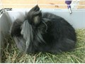 Black Lionhead Rabbit Male  2 cages comes with hay food treats Everything you need to get started