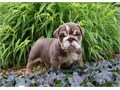 English Bulldog Puppies male and female who is ready to love you This lovable fella is being family