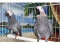 Beautiful Talking Surgically Sexed Pair of African Grey Congo Parrot for 5200 Now Shipping Nationw