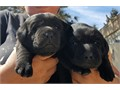 Black Lab Puppies Big Beautiful English Blockheads Big and stocky Purebred w papers they are cu