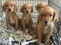 AKC Golden Retriever pups 8 weeks old first shot and dewormed malesfemales dark or light golden