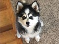 Gorgeous Pomsky now ready with AKC registered This litter of puppies have been family raised and th