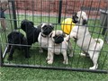 I have a litter of five fawn healthy beautiful playful pug puppies available for sale they are re