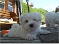 We have one beautiful male and female Maltese puppies left for sale They are so adorable and have b