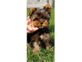 Gorgeous Tiny Yorkie Puppies For Adoption Very Playful and friendly Home breed