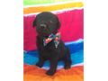 AKC beautiful labs Blk Female Chocolate malesYellows MalesShots and deworming up to date Pl