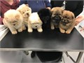 Chow Chow puppies available  I have a amazing litter of chows  2 boys 1 girl  they have been brou