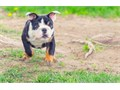 English bulldog puppies up for adoption for more pics and details send text to 2