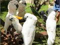I am selling my sweet cockatoo parrots They talk very well and still learn new words They tame and