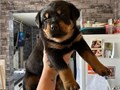 I have stunning rottweiler puppies for sale Very healthy and playful puppies P