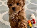 I have a gorgeous boy and a lovely girl Maltipoo puppies for sale in New York They are healthy and