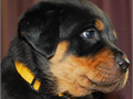 Rottweiler puppies for sale 3 males 2 females excellent markings all black with mahogany marking