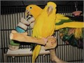 Pair of golden conures for sale Beautiful healthy birds 24 months old Can supply cage if interested