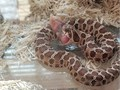 hi guys I have 4 western hognose snakes two females and two males I can no longer keep them their f