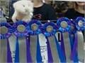 Grand Champion with rare Merrit Registration Status RedWhiteBlue Pedigree Entire pedigree are