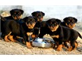 AKC Registration 5 Generation Pedigree Wormed Vet Checked 1st Vaccination Microchipped Puppy pack 5