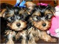 Registered Yorkie puppies for adoption Male and female Excellent colors and markings Good tails