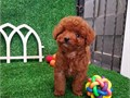 Toy poodle puppies available for sale  males and females available please contact us for more info