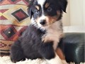 Amazing cute female Australian shepherd looking for a familyShe loves spending