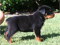 Puppies from the top breeding strongest genetics  longest living 100 German pedigree in the Rottw