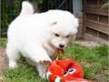 Samoyed puppies contact us using this website  httpmarvelcutepuppyscom