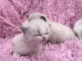 We have rag doll kittens now 8 weeks old and ready for their homes no holds no deposit come pick one