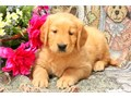 Beautiful Golden Retriever cross puppies for sale 2 boys and 3 girls have been