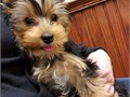 bd Yorkie puppies readyWe Have Male and Female puppies Available please Kin