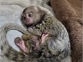 Best breed of marmoset monkey available for a new home potty trained vaccinated