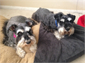 Gorgeous AKC miniature schnauzer puppies will be available to go to their new homes on September 20t