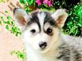 Name Suka First Generation Pomsky F1Gender MaleDOB 6-1-16New Pictu