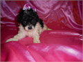 Toy Poodles are Great Pets  CKC Reg Health G Shots UTD Taking Deposits Ready Oct29 Call 706-47