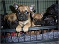 french bulldog Contact us for more information and pic via 415-236-3926