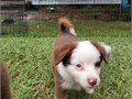 Large toy Australian shepherd up to date on shots been vet checked ready to go visit windfallpuppie